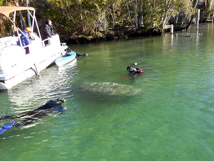 Swimming with Manatees in Crystal River Florida